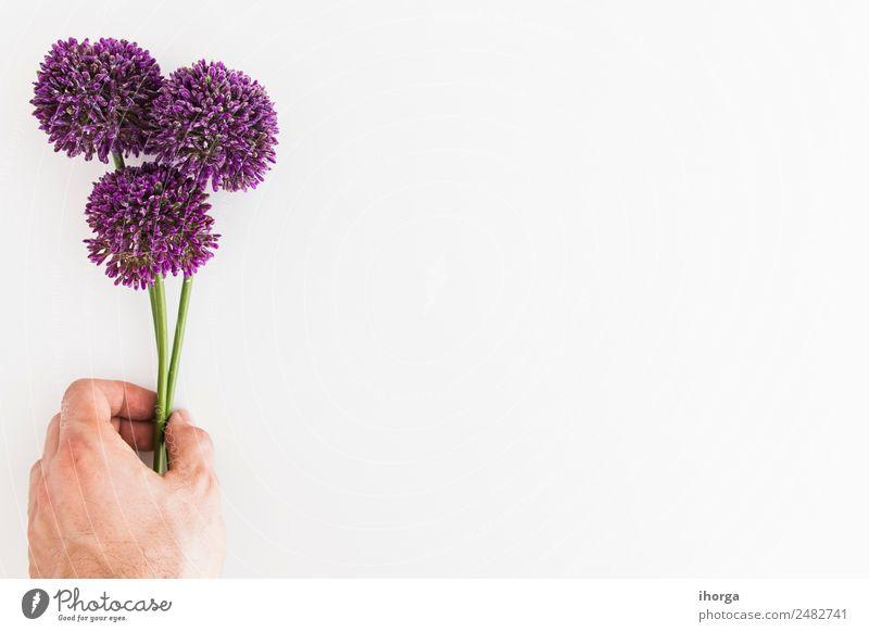 Allium isoliert auf weißem Hintergrund mit menschlicher Hand Kräuter & Gewürze elegant schön Garten Dekoration & Verzierung Finger 1 Mensch Natur Pflanze Blume