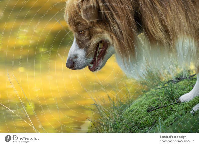 Close-up of the head of an Australian Shepherd Sommer Familie & Verwandtschaft Natur Wasser Garten Park Wiese Tier Haustier Hund 1 Tierliebe waiting security