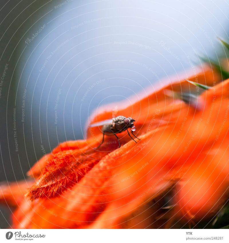 Mir tropft der Zahn... Natur Wasser Pflanze Sommer Tier Farbe Wiese Umwelt orange Wassertropfen trinken Wildtier Insekt Blühend Schönes Wetter Momentaufnahme