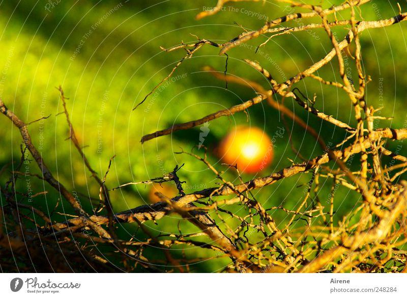 Apfel-Abfall Natur grün Baum rot Pflanze gelb Wiese Herbst Garten braun Erde gold Frucht liegen Sträucher natürlich
