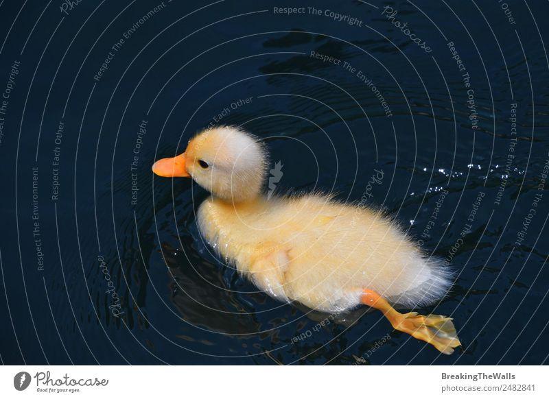 Nahaufnahme eines Entchens in blauem Wasser Sommer Tier Nutztier Wildtier Vogel Entenküken Tierjunges 1 gelb See Im Wasser treiben Tierwelt niedlich Farbfoto