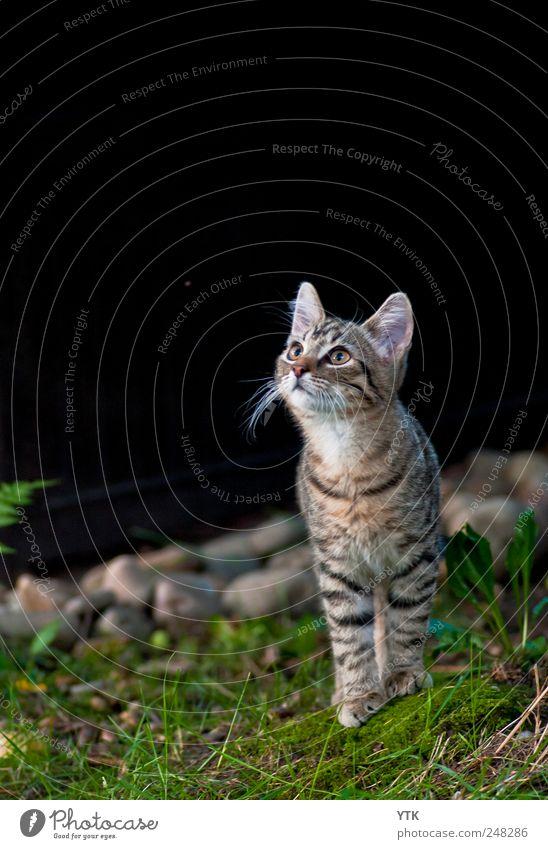 Ungeteilte Aufmerksamkeit Umwelt Natur Pflanze Tier Schönes Wetter Gras Moos Blatt Wildpflanze Garten Haustier Katze 1 beobachten entdecken Jagd Blick frech