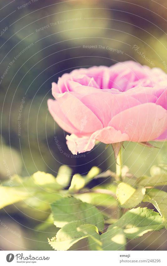 700 grün Pflanze Sommer Blume Frühling rosa natürlich Romantik Duft sanft
