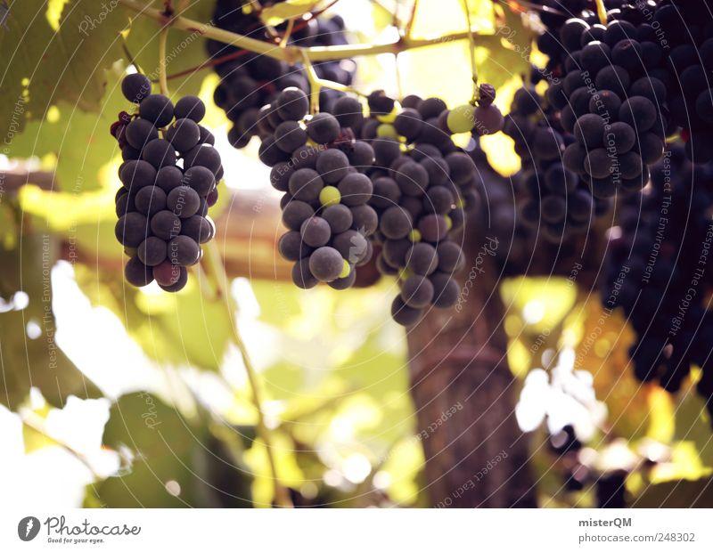 Klostergarten. Natur Pflanze Umwelt Landschaft ästhetisch Wachstum Wein lecker reif genießen Frucht Qualität Weintrauben Ernte Weinberg Weinlese