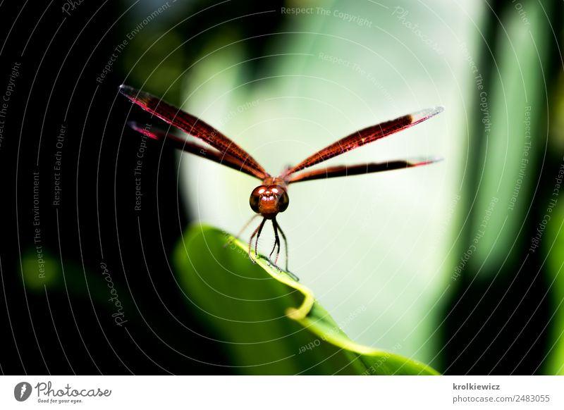 Kleine Libelle auf Blatt Tier Flügel Libellenflügel 1 Blattgrün Blattschatten atmen Denken Jagd stehen außergewöhnlich bedrohlich Erfolg braun schwarz Coolness