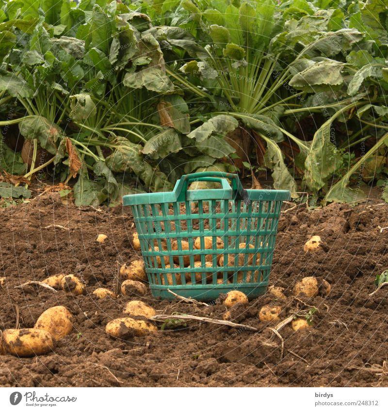 Kartoffelernte Ernährung Gartenarbeit Landwirtschaft Forstwirtschaft Handwerk Pflanze Erde Nutzpflanze Feld authentisch natürlich grün Natur Tradition Ernte