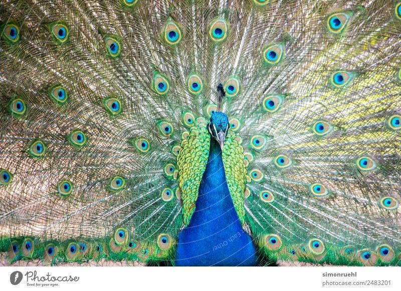 Natur schön Tier Vogel Zoo Aggression Stolz Pfau
