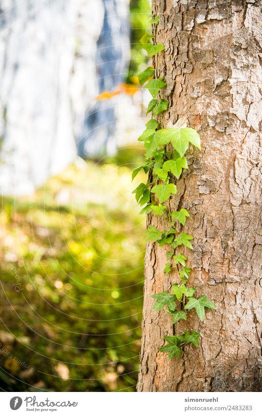 Lasst mich allein Natur Pflanze Sonne Herbst Baum Efeu Blatt Wald Alpen Österreich Hallstadt hell schön gelb gold grün Farbfoto Detailaufnahme Tag