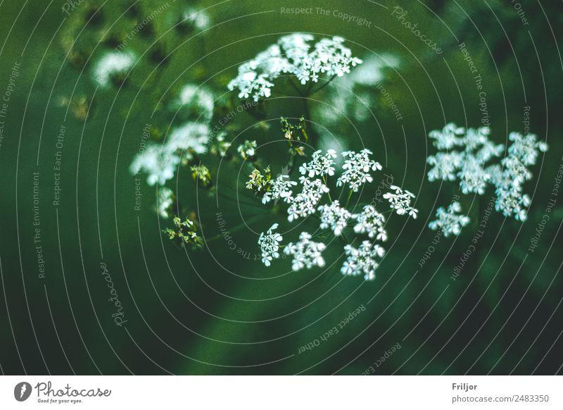 Aegopodium podagraria Landschaft Pflanze Sommer Blume Gras Sträucher Wildpflanze Wiese Wald grün weiß Giersch Straßenrand Schattenpflanze Gift Farbfoto