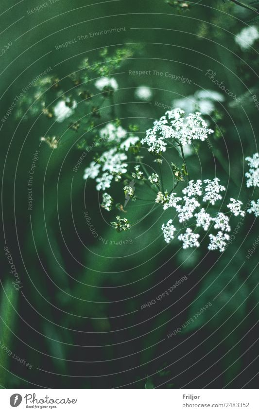 Aegopodium podagraria Natur Pflanze Sommer Wildpflanze Wiese Wald grün weiß Giersch Schattenpflanze Straßenrand Farbfoto Gedeckte Farben Außenaufnahme