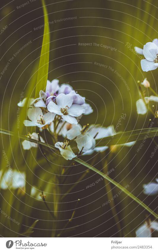 Geranium pratense Natur Landschaft Pflanze Frühling Sommer Blume Wildpflanze Garten Park Wiese blau gelb grün violett weiß Wiesen-Storchschnabel