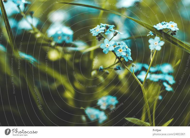 Vergissmeinnicht Natur Sommer Pflanze grün gelb Frühling Wiese Garten Park gold Blumenwiese Grünpflanze Wildpflanze Vergißmeinnicht azurblau