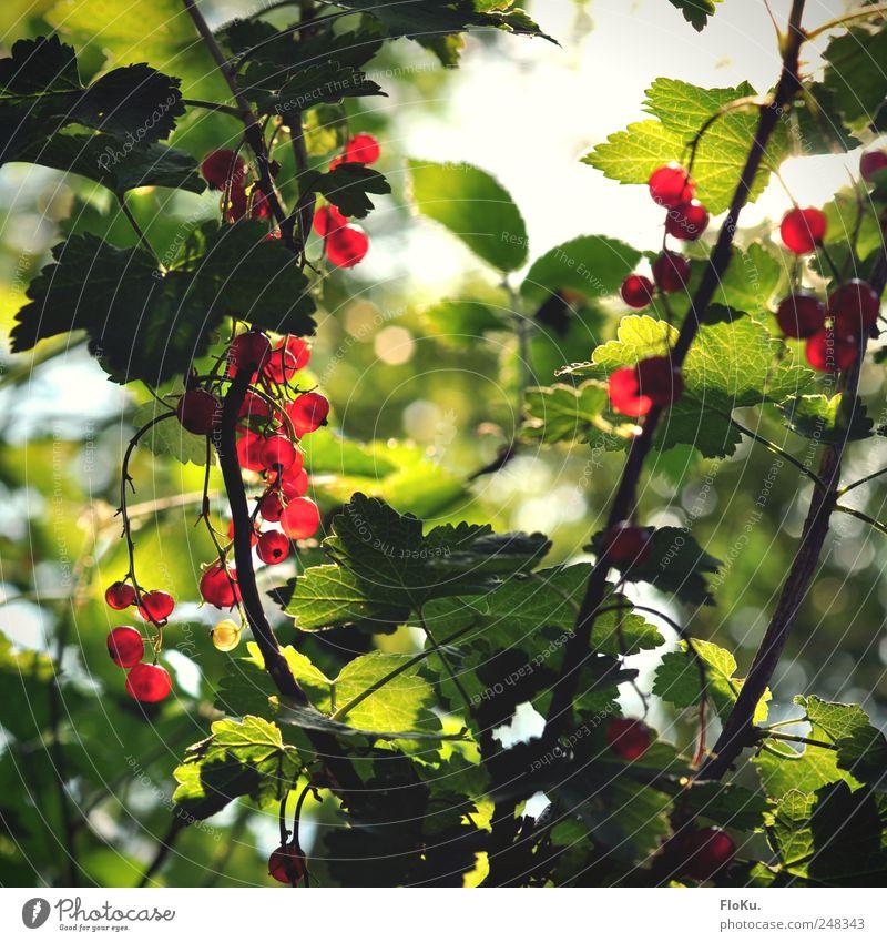 Wilde Johannisbeeren Frucht Umwelt Natur Pflanze Sonnenlicht Sommer Sträucher Blatt Grünpflanze frisch Gesundheit lecker rund saftig grün rot Beeren leuchten