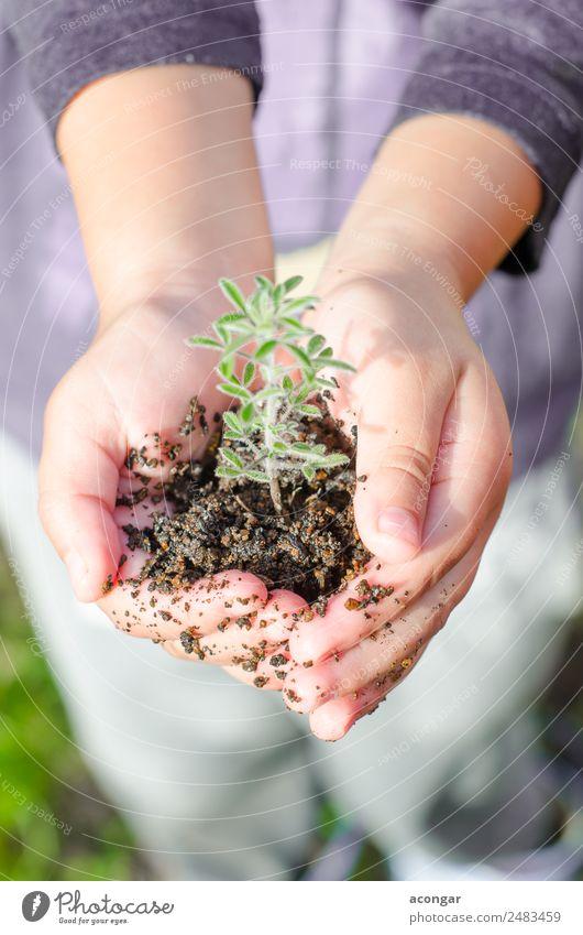 Schmutzige Jungenhände halten kleine junge Kräutersprossenpflanze. Kräuter & Gewürze Vegetarische Ernährung Leben Garten Hand Natur Pflanze Erde Blatt Wachstum