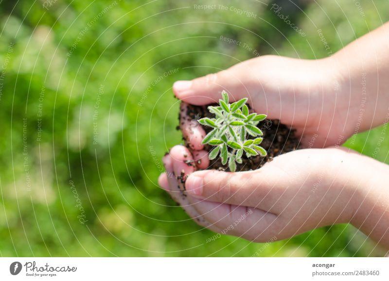Schmutzige Jungenhände halten kleine junge Kräutersprossenpflanze. Kräuter & Gewürze Vegetarische Ernährung Garten Kind Business Hand Natur Pflanze Erde Blatt
