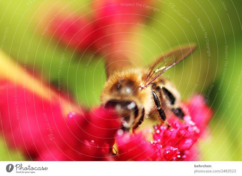 blütenschmaus Natur Pflanze Tier Sommer Blume Blüte Prachtspiere Wildtier Biene Tiergesicht Flügel 1 Blühend Duft fliegen Fressen schön Honig Pollen Nektar