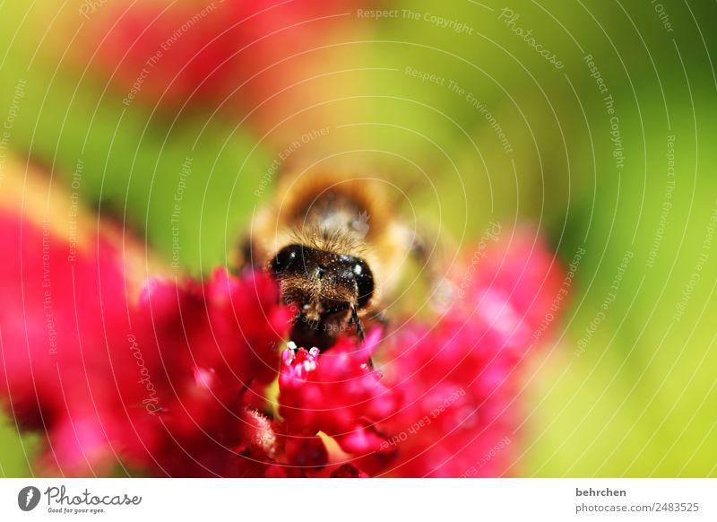 ich seh dich Natur Sommer Pflanze schön Blume rot Tier Blüte Wiese klein Garten rosa fliegen Wildtier Blühend Flügel
