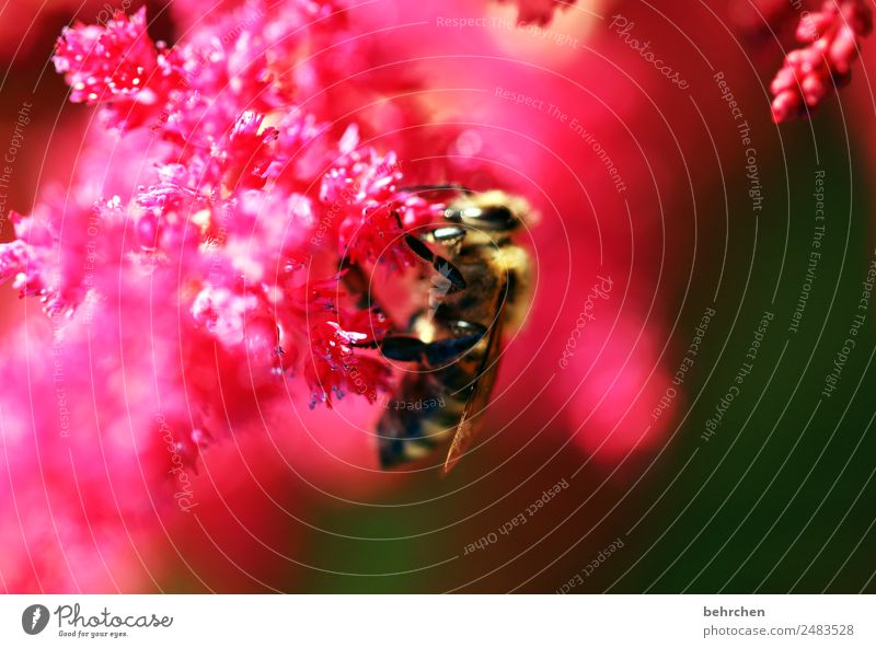 nullachtfuffzehn | schärfe Natur Pflanze Tier Sommer Blume Blüte Prachtspiere Garten Wiese Wildtier Biene Tiergesicht Flügel 1 Blühend Duft fliegen Fressen