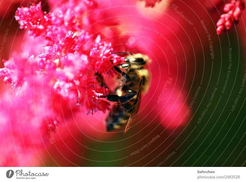 nullachtfuffzehn | schärfe Natur Sommer Pflanze schön Blume rot Tier Blüte Wiese klein Garten rosa fliegen Wildtier Blühend Flügel