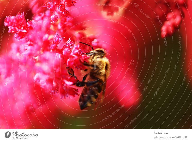 pinkes naschwerk Sommer Pflanze schön Blume rot Tier Blüte Wiese Garten rosa fliegen leuchten Wildtier Blühend Flügel Insekt