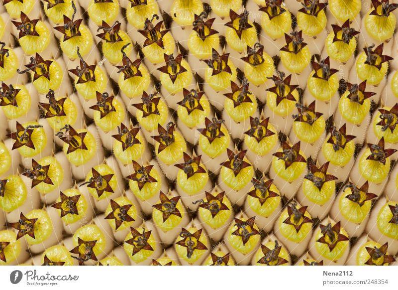 Ordnung muss sein Natur Pflanze Sommer Blume Blüte Nutzpflanze ästhetisch gelb Ordnungsliebe Sonnenblume Sonnenblumenkern parallel Linie eingeordnet Farbfoto