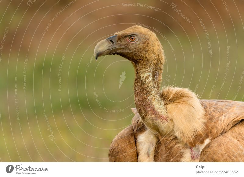 Orbit eines jungen Geiers Gesicht Zoo Natur Tier Vogel alt stehen groß natürlich stark wild blau braun schwarz weiß Tierwelt Aasfresser Schnabel Kopf Beute
