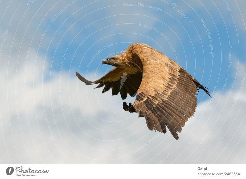 Großer Geier im Flug Gesicht Natur Tier Himmel Wolken Vogel fliegen groß natürlich stark wild schwarz weiß Tierwelt Landen Flügel Aasfresser Schnabel Kopf Beute
