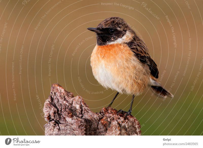 Wunderschöner Wildvogel auf einer Anhöhe Leben Mann Erwachsene Umwelt Natur Tier Vogel klein natürlich wild braun weiß Schwarzkehlchen Tierwelt allgemein