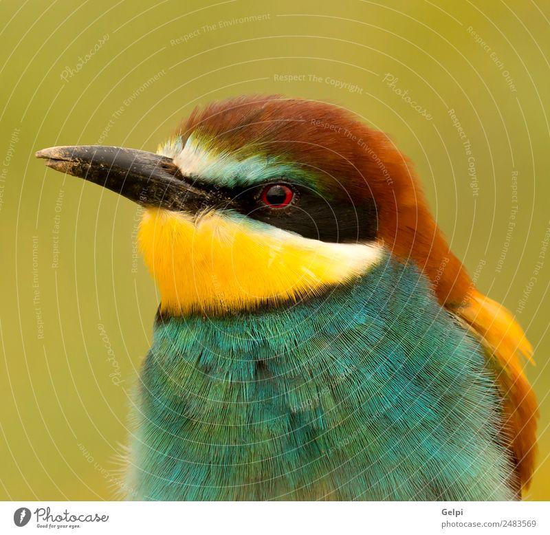 ortrait eines bunten Vogels exotisch schön Freiheit Natur Tier Biene glänzend füttern hell wild blau gelb grün rot weiß Farbe Tierwelt Bienenfresser Apiaster