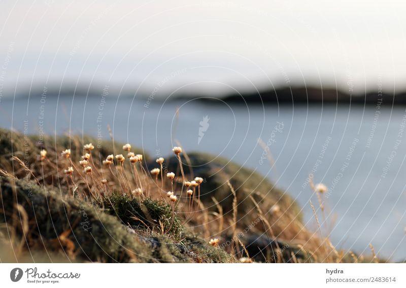 verblühte Grasnelken auf Moos  auf einer Schäre in Schweden harmonisch Natur Landschaft Erde Wasser Himmel Sommer Schönes Wetter Blüte Wildpflanze Wiese Felsen