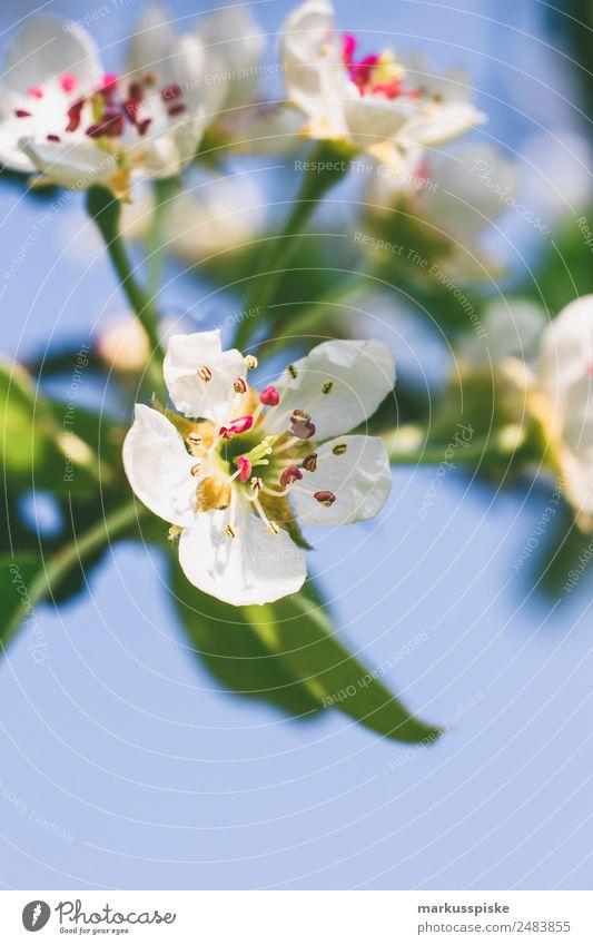 Kirschblüten Frucht Erholung Garten Landwirtschaft Forstwirtschaft Natur Pflanze Wärme Blühend Duft rosa weiß nachhaltig Umwelt Wachstum beautiful beauty