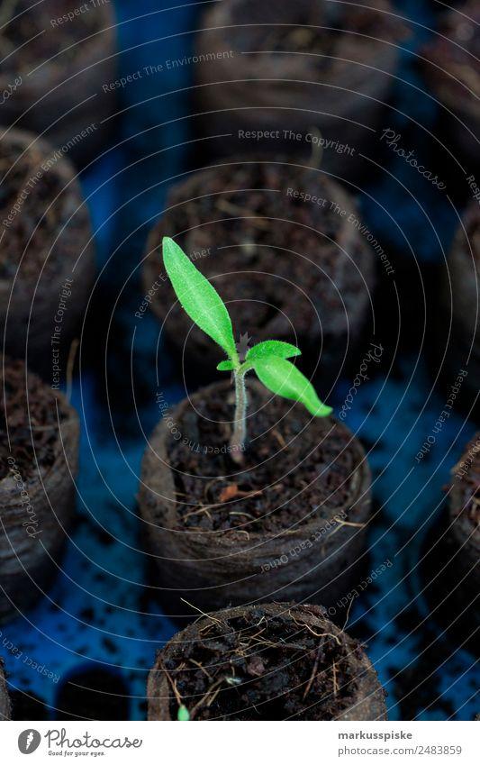 Tomaten Aufzucht Pflanze Stadt Landwirtschaft Gemüse Bioprodukte nachhaltig Vegetarische Ernährung Vitamin Gartenarbeit Forstwirtschaft