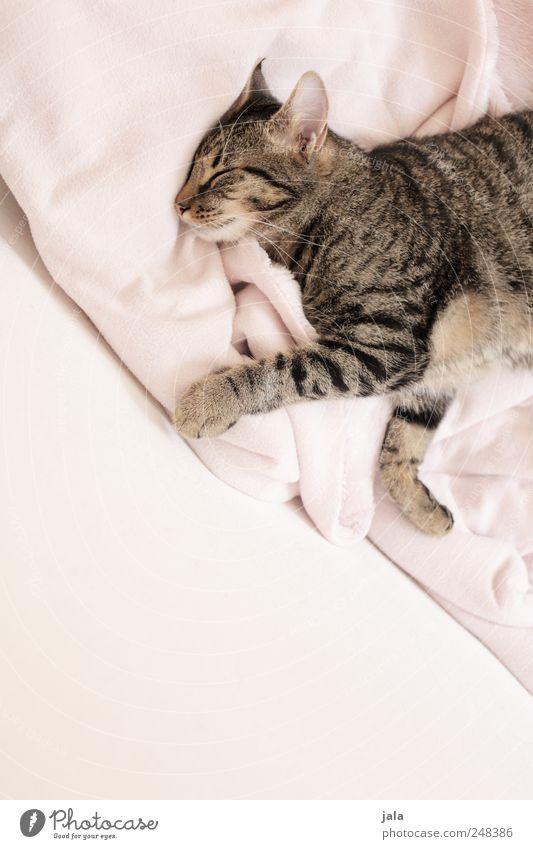 tagträumer Tier Erholung träumen Katze schlafen liegen Sicherheit Vertrauen Haustier Geborgenheit Hauskatze Sympathie