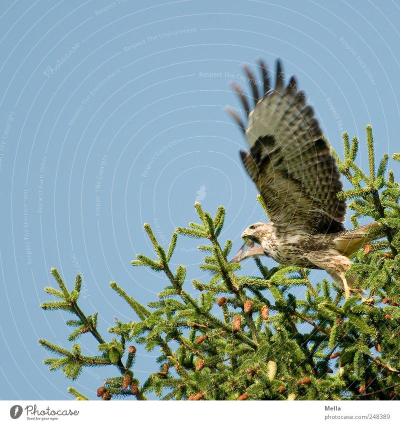 Auf geht's Umwelt Natur Pflanze Tier Baum Tanne Tannenzweig Nadelbaum Zweige u. Äste Vogel Flügel Bussard Mäusebussard Greifvogel 1 Bewegung fliegen frei