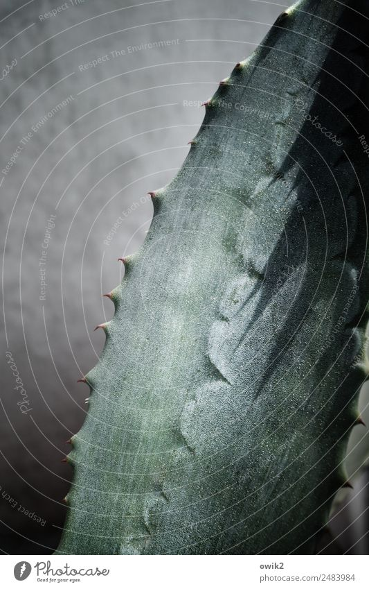 Spargelgewächs Pflanze Blatt Topfpflanze Agave Mauer Wand authentisch Erfolg natürlich Spitze Schutz Wachsamkeit bizarr Entschlossenheit stachelig Stachel Dorn