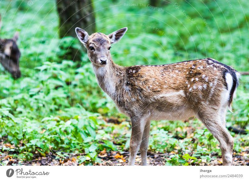 Europäischer Rothirsch im Herbst im Wald schön Jagd Umwelt Natur Tier Baum Gras Park Wildtier 1 natürlich wild braun grün Bleßwild Horn Bock Hirsche Europa