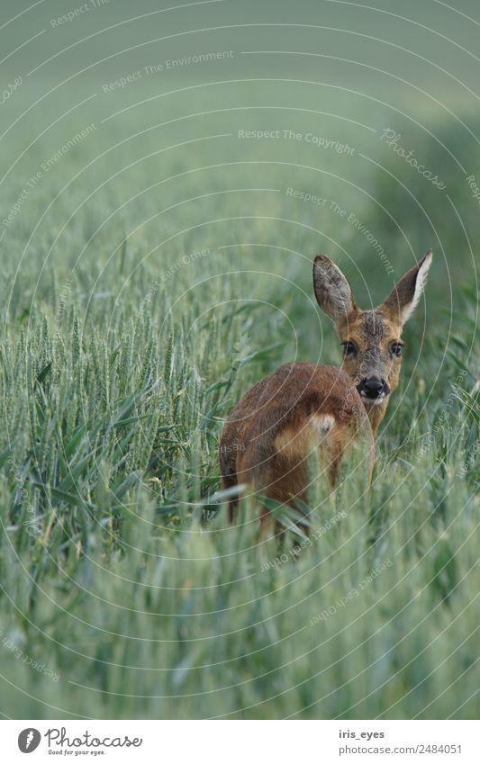 Reh am Morgen Tier Angst Wildtier Nervosität Schüchternheit