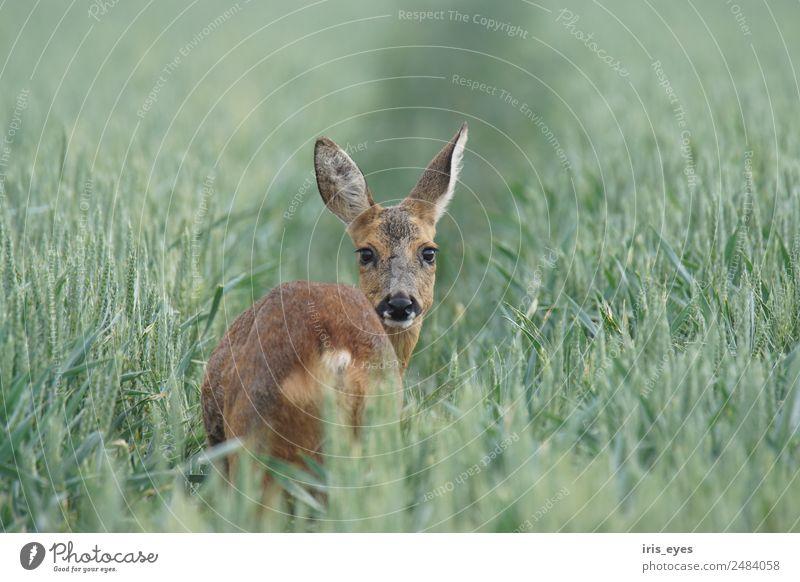 Reh am Morgen Tier Wildtier 1 Nervosität Schüchternheit Farbfoto Gedeckte Farben Außenaufnahme Textfreiraum rechts Textfreiraum oben Schwache Tiefenschärfe