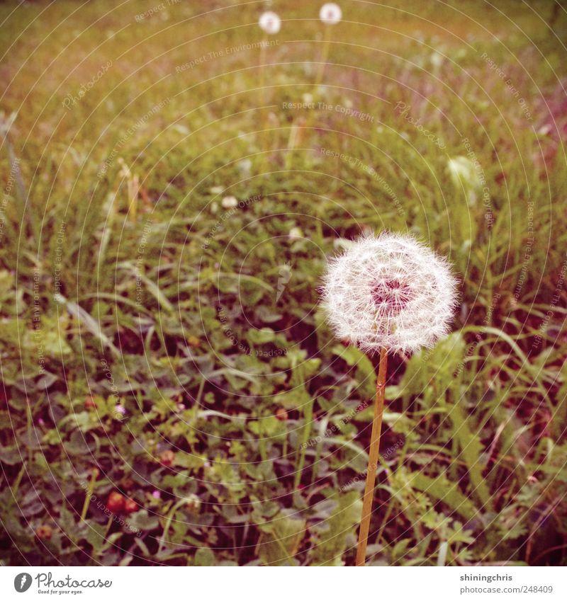 ..was bleibt sind pusteblumen Natur Löwenzahn Blühend frei ruhig Wiese Gedeckte Farben Außenaufnahme Tag Schwache Tiefenschärfe Zentralperspektive