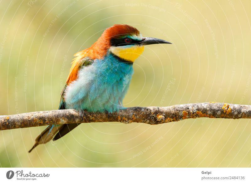 Porträt eines bunten Vogels exotisch schön Freiheit Natur Tier Biene glänzend füttern hell wild blau gelb grün rot weiß Farbe Tierwelt Bienenfresser Apiaster