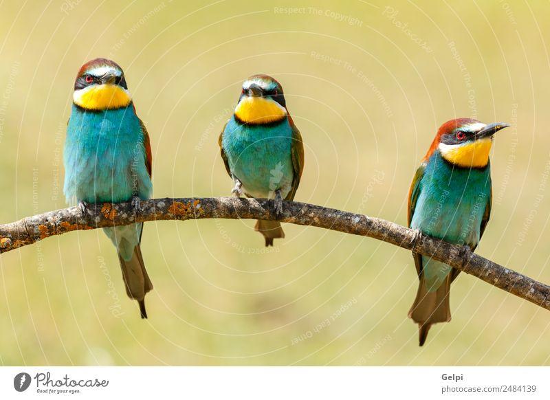 Drei Vögel saßen auf einem Ast. exotisch schön Freiheit Freundschaft Natur Tier Vogel Biene glänzend füttern hell wild blau gelb grün rot weiß Farbe Tierwelt