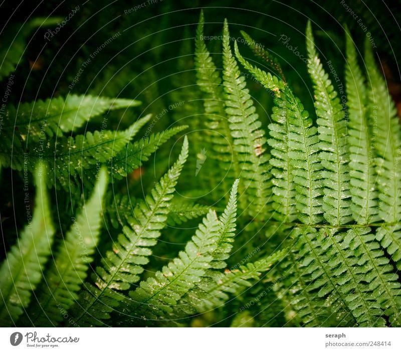 Farne Natur grün Pflanze Blatt frisch Wachstum Kräuter & Gewürze Stengel Botanik Bildausschnitt Echte Farne gefiedert Sporen Wurmfarn Farnblatt