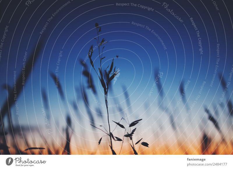 Sommerabend in der Camargue IV Umwelt Natur Sonnenaufgang Sonnenuntergang Schönes Wetter Pflanze Gras Feld ästhetisch Stimmung Frankreich Südfrankreich