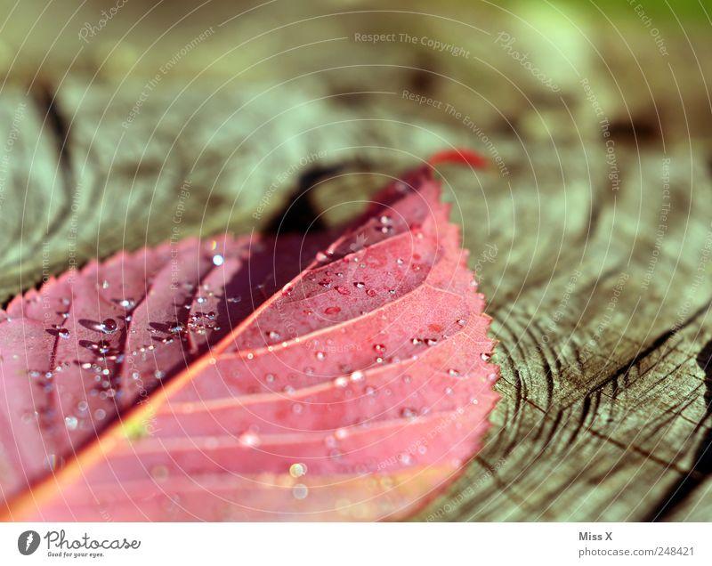 Hurra Hurra der Herbs ist daaaa Wassertropfen Herbst Blatt kalt nass rot Farbe herbstlich Herbstlaub Herbstfärbung Herbstbeginn Tau Morgen Blattadern Farbfoto
