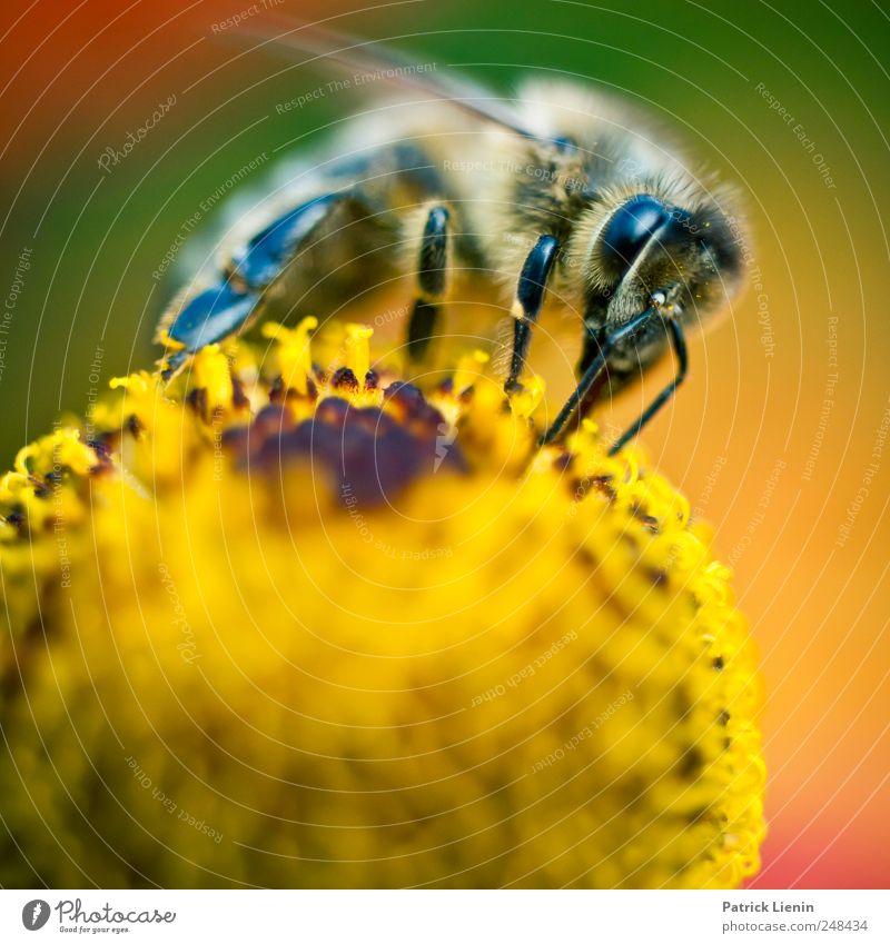 be a bee Natur schön Pflanze Blume Tier Umwelt Freiheit Garten Blüte klein sitzen fliegen Energie ästhetisch Wildtier authentisch