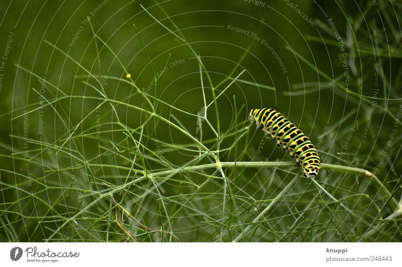 der Weg ist das Ziel Natur grün Pflanze Sommer Blatt schwarz Tier gelb Umwelt Garten klein Wachstum Sträucher Wildtier Insekt Kräuter & Gewürze