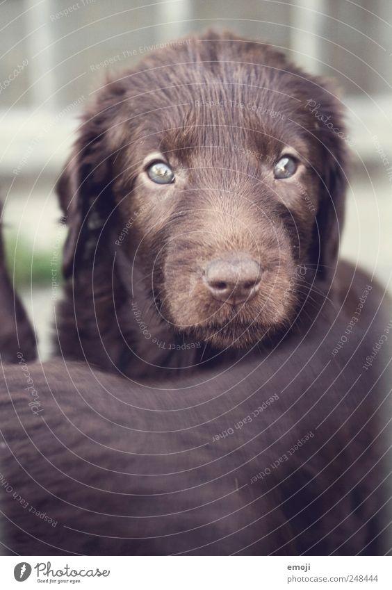 Gutzigutzigutzi Tier Haustier Hund 1 Tierjunges braun Fell Schnauze Welpe flat coated retrevier Hundeblick niedlich Farbfoto Außenaufnahme Menschenleer