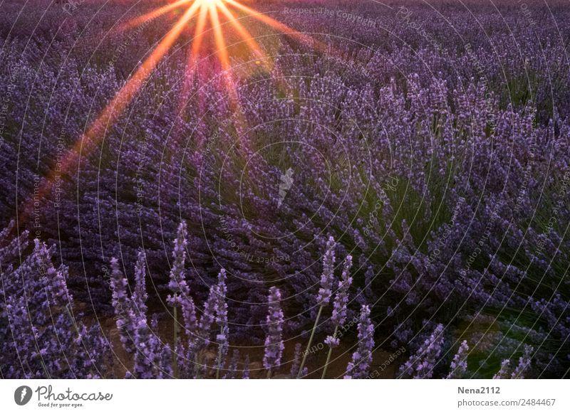 Lavendelfeld | hier riecht's doch nach ... der Provence sonne sonnenuntergang wind lila riechend duft provence südfrankreich süden urlaub traumhaft fernweh