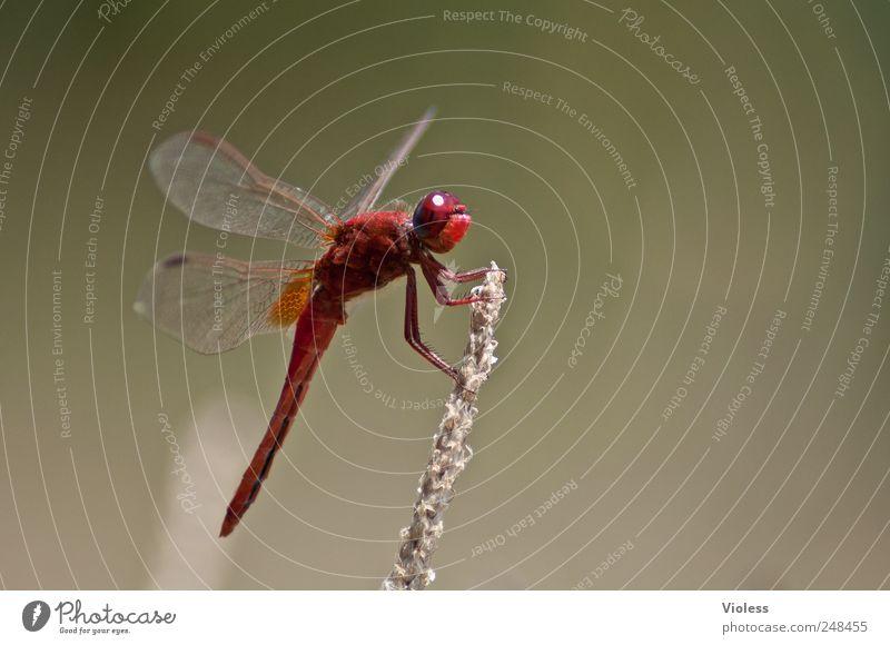 Red Love Natur rot Tier sitzen Libelle Heidelibelle Groß Libelle