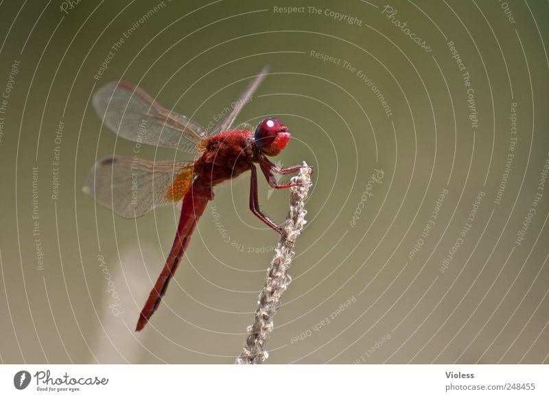 Red Love Natur Tier 1 sitzen rot Libelle Heidelibelle Segellibellen Groß Libelle Ansitz Farbfoto Außenaufnahme Makroaufnahme Textfreiraum rechts